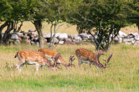Fallow deer grazing in the pasture
