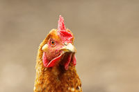 portrait of curious brown hen over out of focus background
