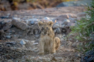 Lion cub sitting in a dry riverbed.