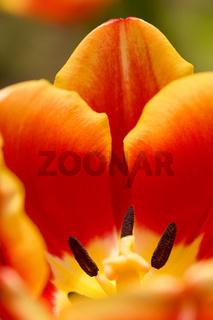 oranges Tulpenblatt - Tulipa