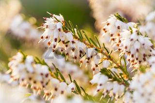 Besenheide oder Heidekraut - Calluna vulgaris