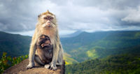 Monkeys at the Gorges viewpoint. Mauritius. Panorama