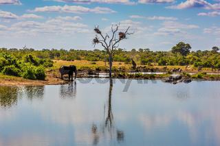 Elephant, herd of zebras and a few giraffes