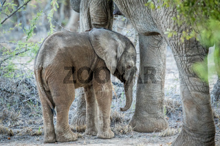 Young Elephant in between the legs of his mother.