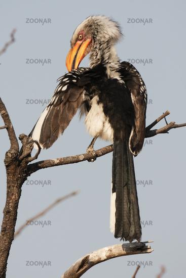 Southern Yellow-billed Hornbill-Gelbschnabeltoko