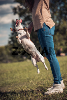 jumping Jack Russel dog on a green lawn next to girl