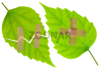 Wounded green leaves with a plaster
