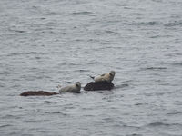 Zwei Seehunde auf Felsen in der Nordsee