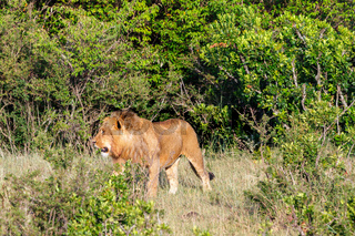 Male lion in the African wilderness