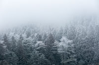 winter forest in fog