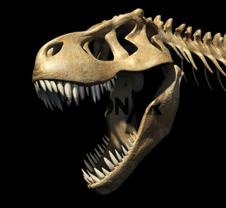 T-Rex skull close-up.
