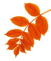 Autumn rowan leaf isolated on white