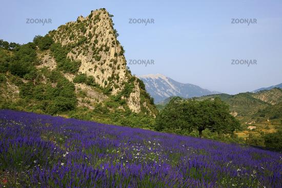 Lavendel mit Blick zum Mont Ventoux, Provence, France