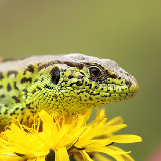 macro shot of sand lizard basking on dandelion flower  ( Lacerta agilis )