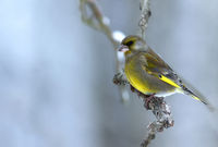 Greenfinch (Carduelis chloris) sitting on a branch in foggy,cold,winter morning