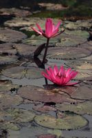 Wasserlilien auf einem Flussarm in Thailand.