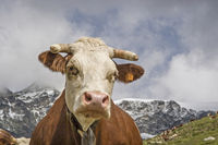 Kuh im Gran Paradisogebiet