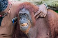 Zoo Caretaker playing with smiling male orangutan