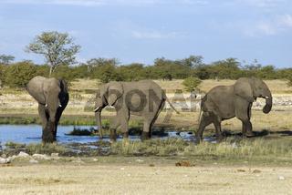 Afrikanischer Großelefant