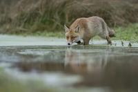 im Sumpf... Rotfuchs *Vulpes vulpes*