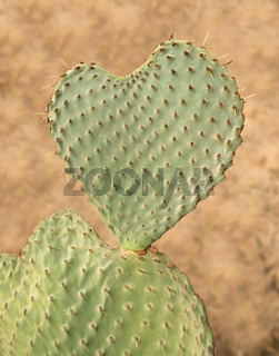 Heart shaped cactus called Prickly Pear