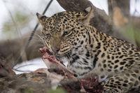 Leopard (Panthera pardus), Mashatu Game Reserve, Botswana