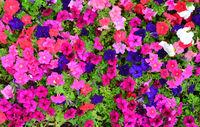 Petunia flowers texture