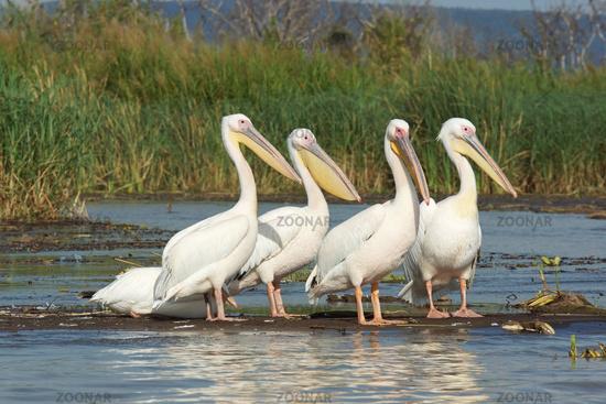 Rosapelikan, Lake Chamo, Äthiopien, Afrika