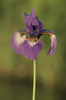 Sibirische Schwertlilie (Iris sibirica)