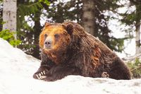 Grizzly bear at winter time.