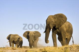 Afrikanische Elefanten (Loxodonta africana) beim Staubbad, Chobe Fluss, Chobe River, Chobe National Park, Botswana, Afrika, African Elephants bathing with dust, Africa