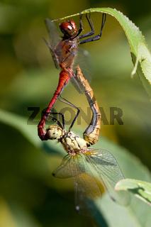 Paarung Blutrote Heidelibelle
