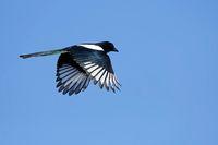 Elster fliegend