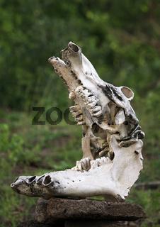 Skull of a hippopotamus