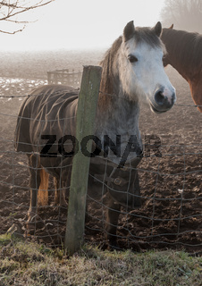 Grey jacketed horse on a cold misty overcast morning