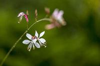 Nahaufnahme der Blüten einer Prachtkerze vor grünem Hintergrund