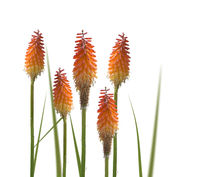 Kniphofia or Red Hot Poker flowers