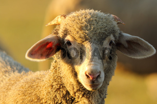 portrait of cute curious lamb looking at the camera