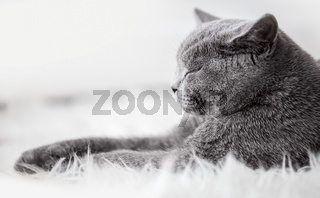 Young cute cat sleeping on cosy white fur. The British Shorthair