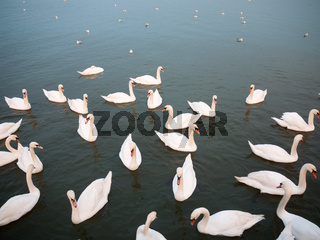 group of white mute swans down below on water animal bird background
