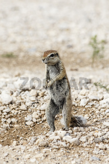 Erdhörnchen, African Ground Squirrel