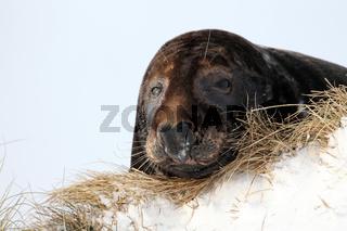 Kegelrobben Bulle Helgoland