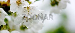 White pear petals.