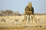 Giraffe (Giraffa camelopardalis) beim Trinken mit einer Herde Wasserloch, Nxai Pan, Makgadikgadi Pans National Park, Botswana, Afrika, Giraffe and Springbok antelopes at waterhole, Africa