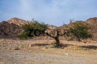 The branchy acacia