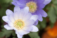 Windröschen Blüten