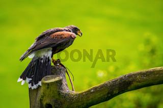 greifvogel bei einer flugschow