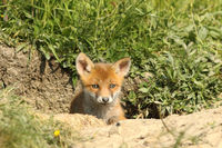 cute red fox cub portrait at the entrance of the den ( Vulpes )
