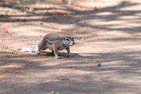 Close view of a fluffy chipmunk crossing a road at Namibia