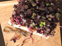 Red radish sprouts in a kitchen